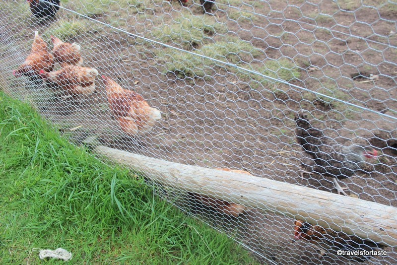Hens at River Cottage HQ