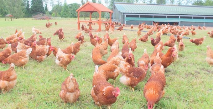 Behind the scenes at a free range Happy Eggs Co farm