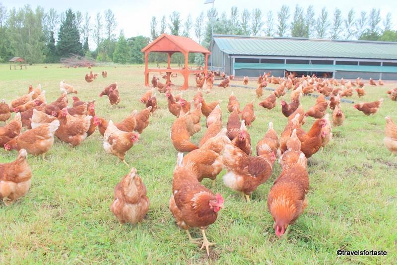 Happy hens at Bulborne Farm - Happy Eggs