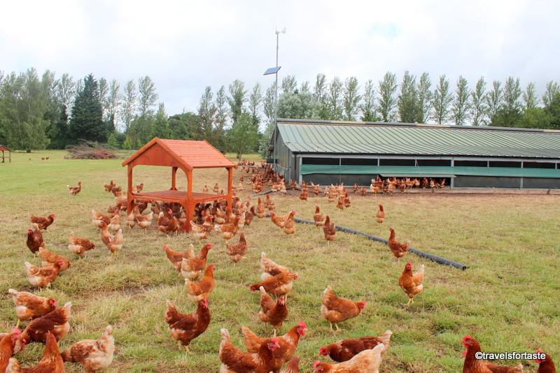 Happy Hens at the Happy Eggs Farm